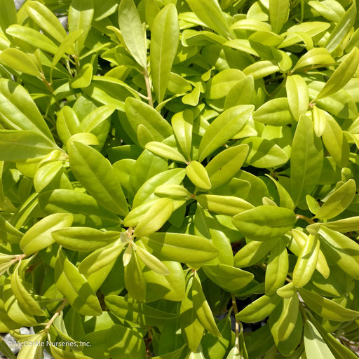 'Florida Sunshine' Anise - Buy Plants Online