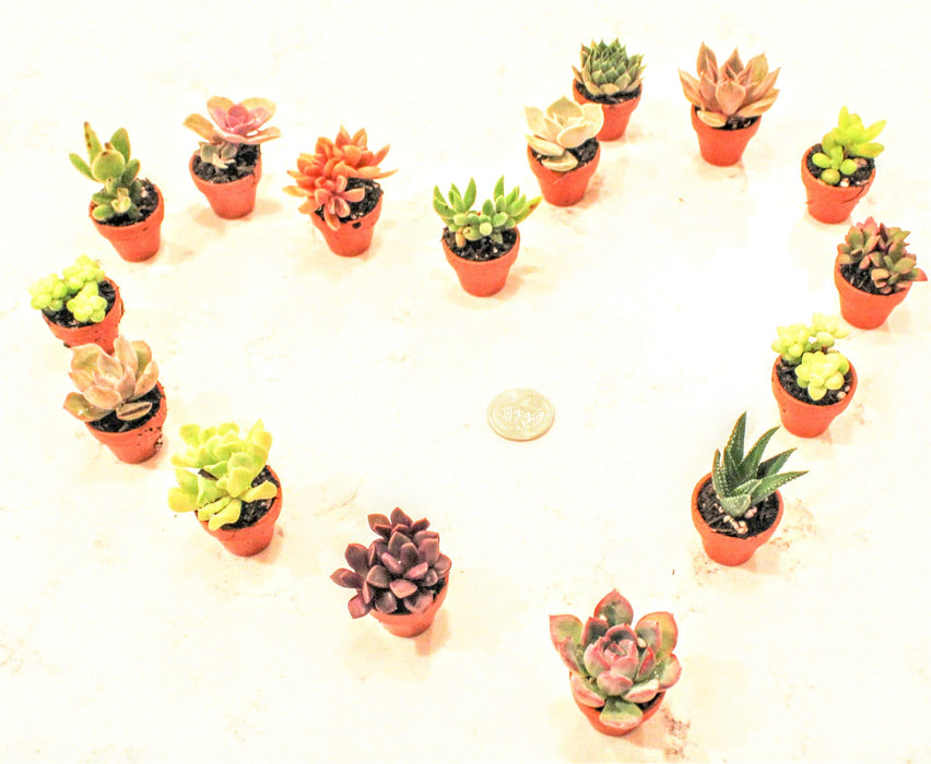 Adopt-a-Baby Succulent - Buy Plants Online