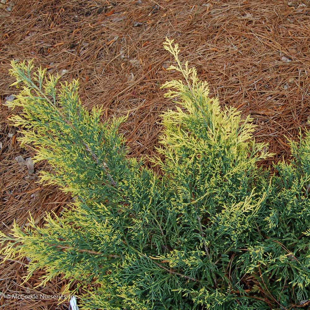 'Gold Lace' Juniper