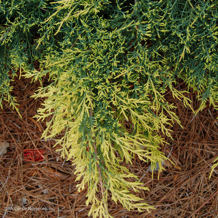 'Gold Lace' Juniper up close, bloom