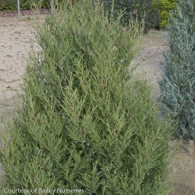 'Spartan' Juniper - Buy Plants Online