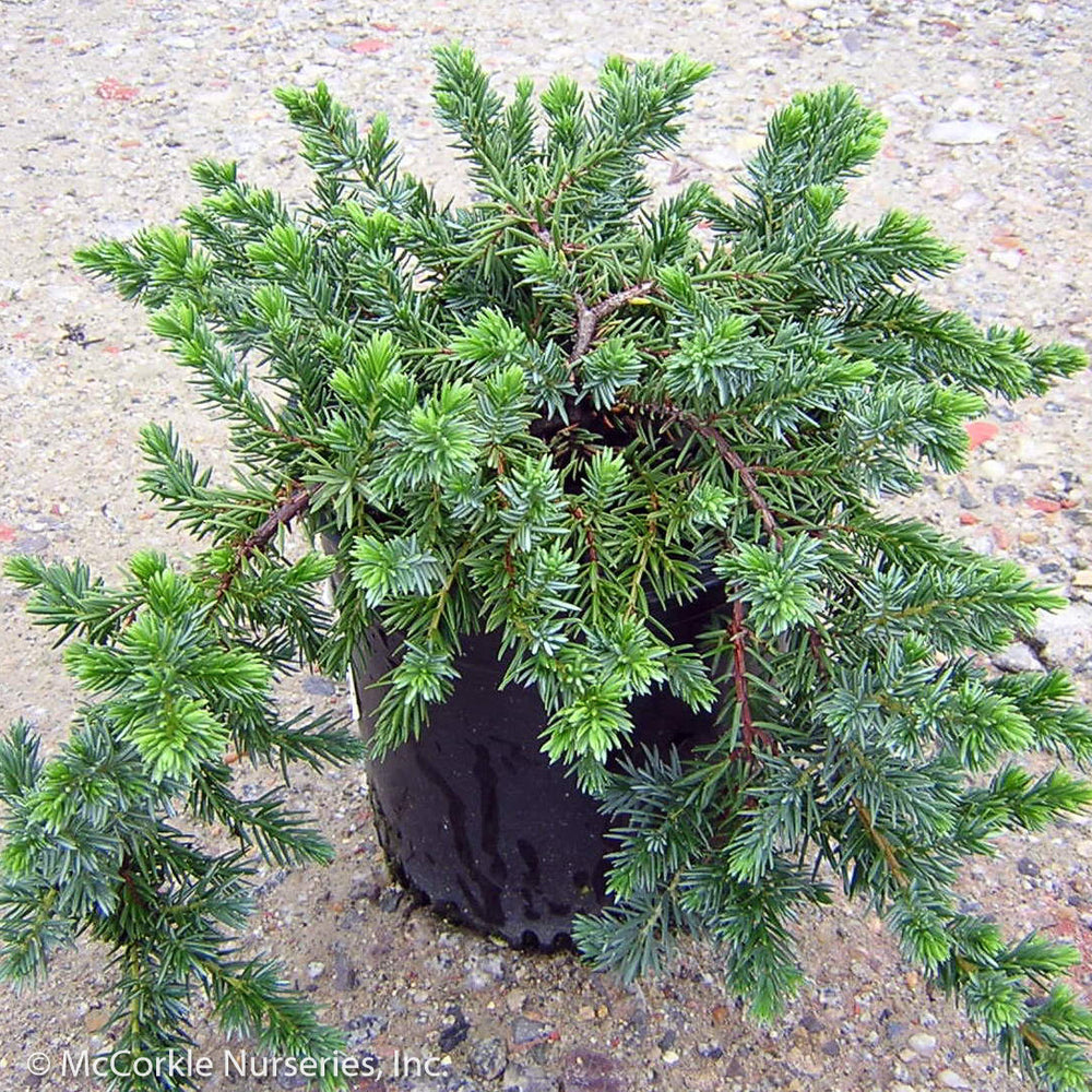 'Blue Pacific' Juniper - Buy Plants Online