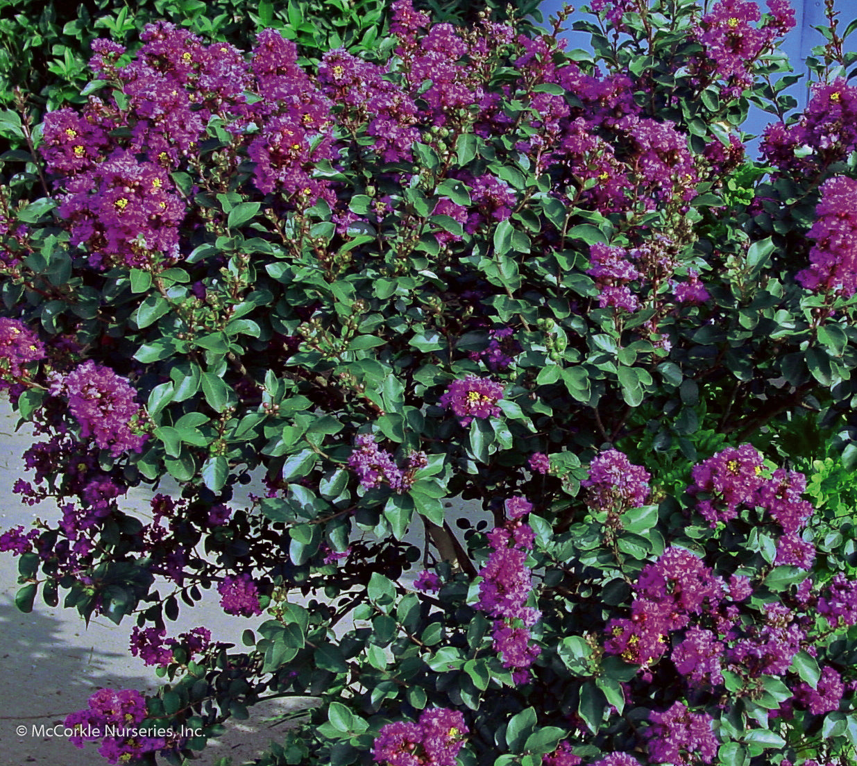Barnyard Series Purple Cow™ Mid Size Crapemyrtle