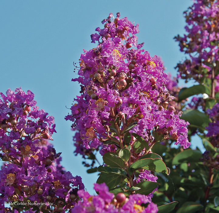 Barnyard Series Purple Cow™ Mid Size Crapemyrtle up close, bloom
