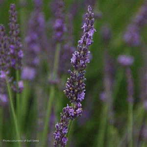 Phenomenal™ Lavender up close, bloom