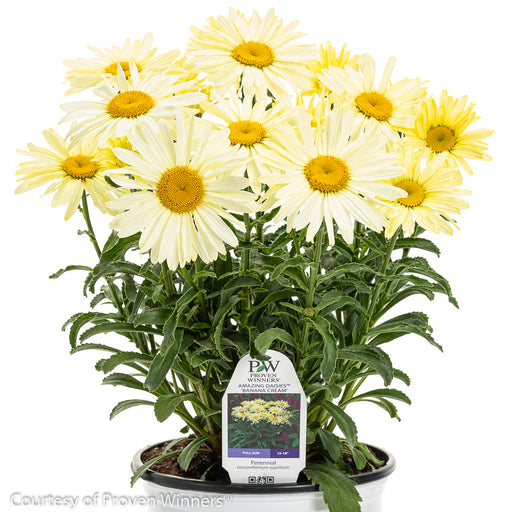 Amazing Daisies® 'Banana Cream' Shasta Daisy in container