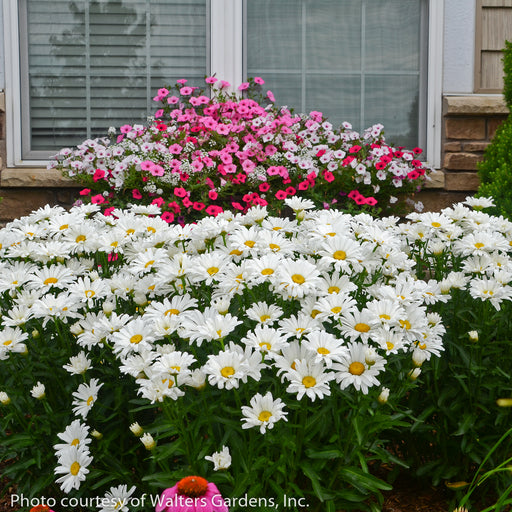 Amazing Daisies® Daisy May® Shasta Daisy - Buy Plants Online