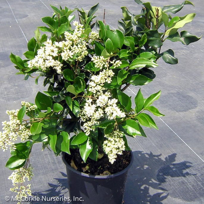 'Recurvifolium' Ligustrum in container