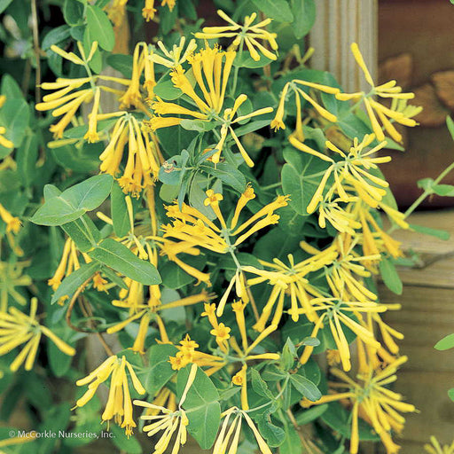 'John Clayton' Honeysuckle - Buy Plants Online