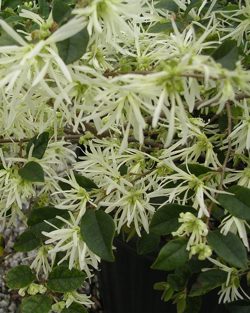 Glowing Horizons® Carolina Moonlight® Loropetalum - Buy Plants Online