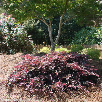Crimson Fire™ Loropetalum landscape shot