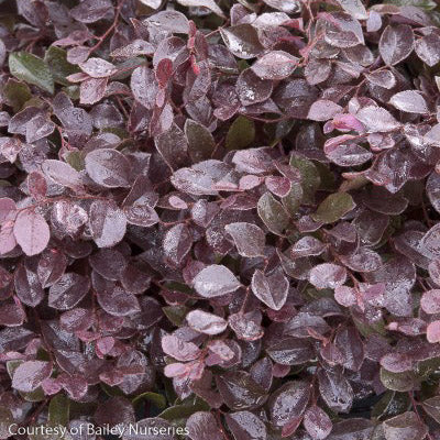 Crimson Fire™ Loropetalum  3 Gallon - Buy Plants Online
