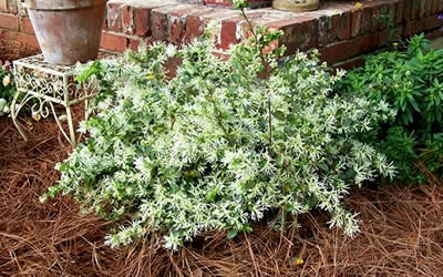 Emerald Snow® Loropetalum landscape shot
