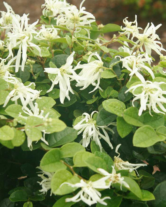 Emerald Snow® Loropetalum up close, bloom