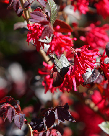 Glowing Horizons® Ever Red™ Loropetalum
