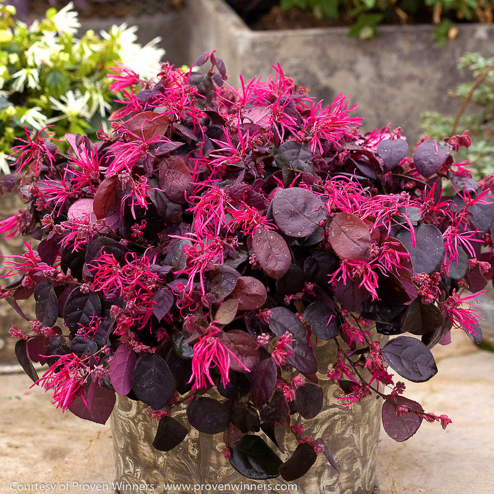 Jazz Hands Bold™ Loropetalum - Buy Plants Online