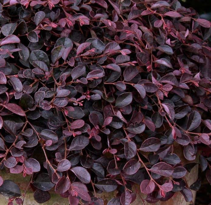 Purple Pixie® Loropetalum