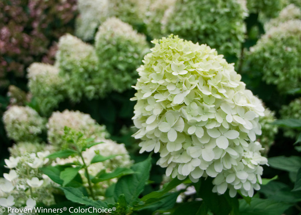 Little Lime® Hydrangea - Buy Plants Online