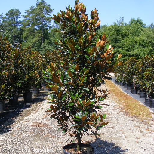 'Little Gem' Southern Magnolia - Buy Plants Online