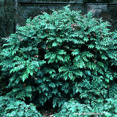 Leatherleaf Mahonia - Buy Plants Online
