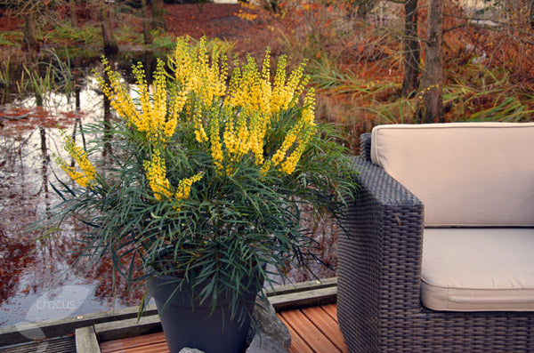 'Soft Caress' Mahonia lifestyle shot