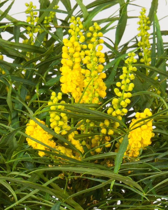 'Soft Caress' Mahonia up close, bloom