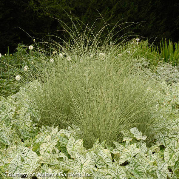 'Morning Light' Silver Grass - Buy Plants Online