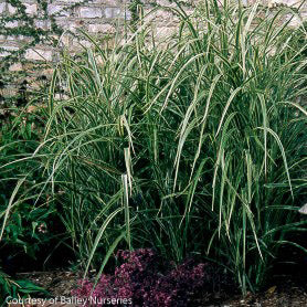 Variegated Japanese Silver Grass landscape shot