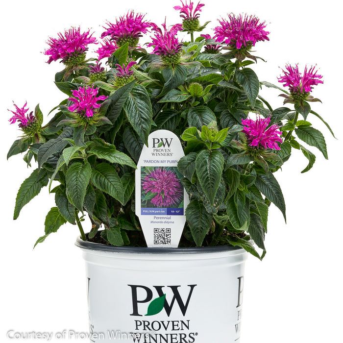 'Pardon My Purple' Bee Balm in container