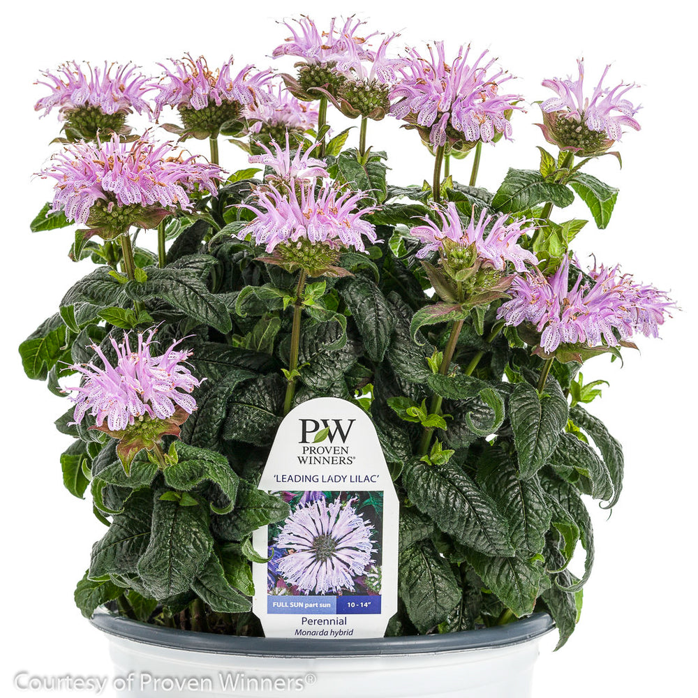 'Leading Lady Lilac' Bee Balm - Buy Plants Online