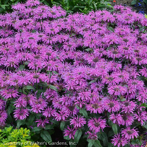 'Leading Lady Plum' Bee Balm - Buy Plants Online
