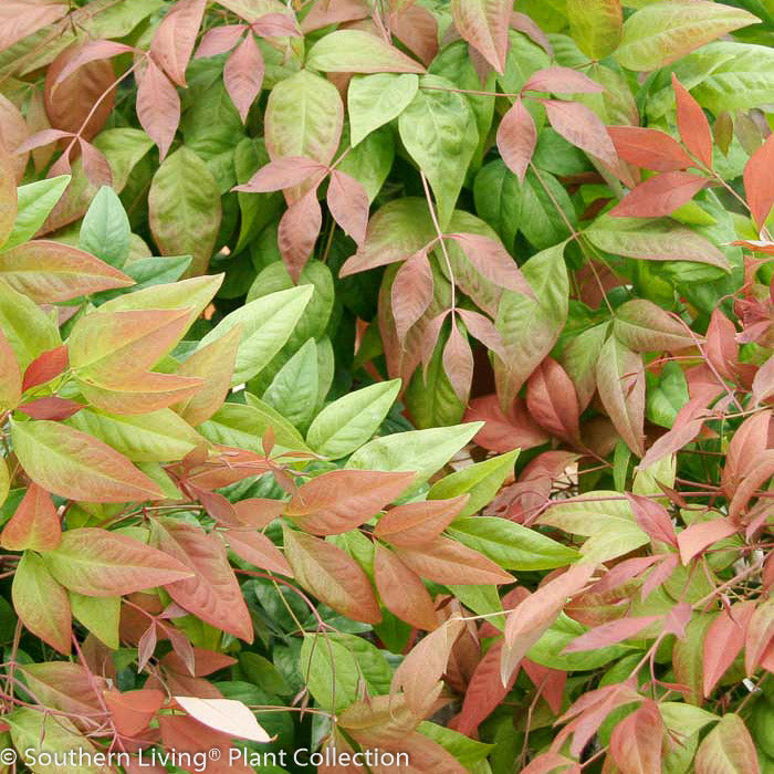 Blush Pink™ Heavenly Bamboo - Buy Plants Online