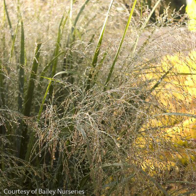 'Northwind' Switch Grass up close, bloom