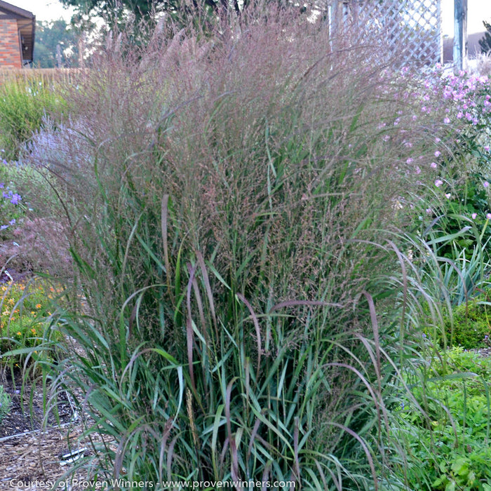 Prairie Winds® 'Apache Rose' Switch Grass - Buy Plants Online