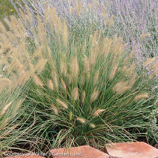'Hameln' Dwarf Fountain Grass - Buy Plants Online