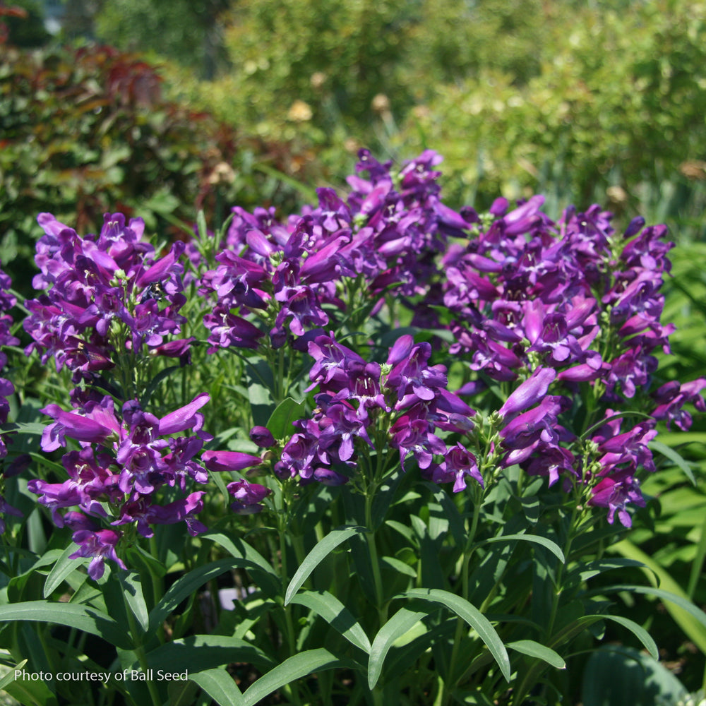 Rock Candy® Purple Penstemon - Buy Plants Online