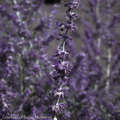'Little Spire' Russian Sage - Buy Plants Online