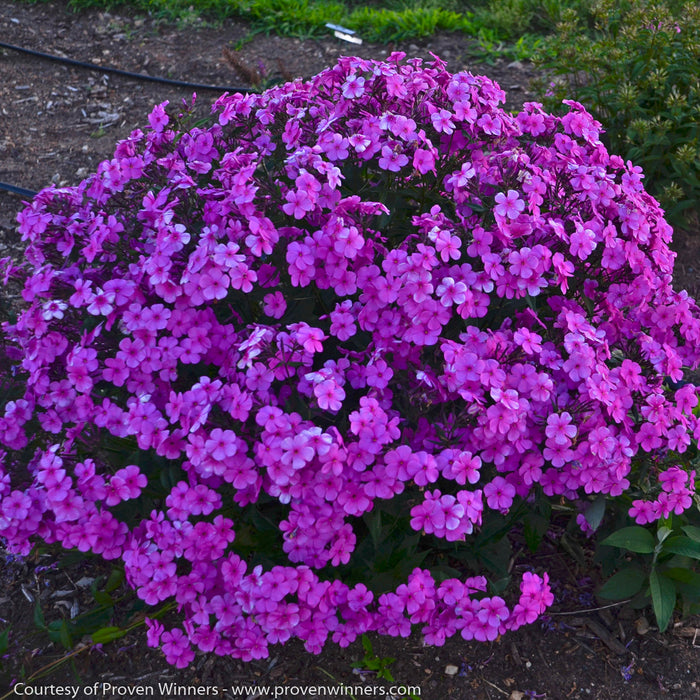 'Cloudburst' Phlox - Buy Plants Online