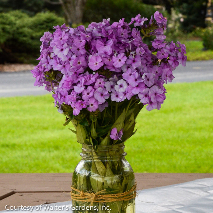 'Opening Act Blush' Phlox - Buy Plants Online