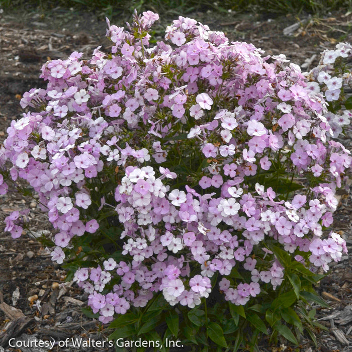 'Opening Act Blush' Phlox up close, bloom