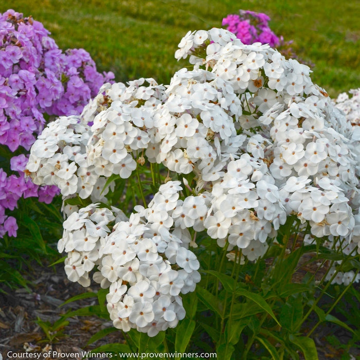 'Opening Act White' Phlox - Buy Plants Online