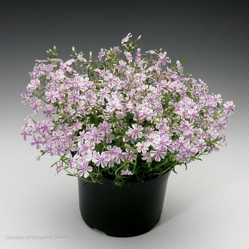 'Candy Stripe' Phlox - Buy Plants Online