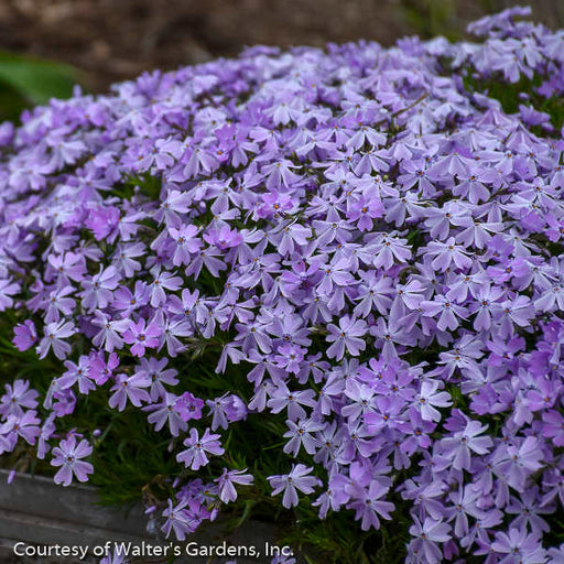 'Emerald Blue' Phlox