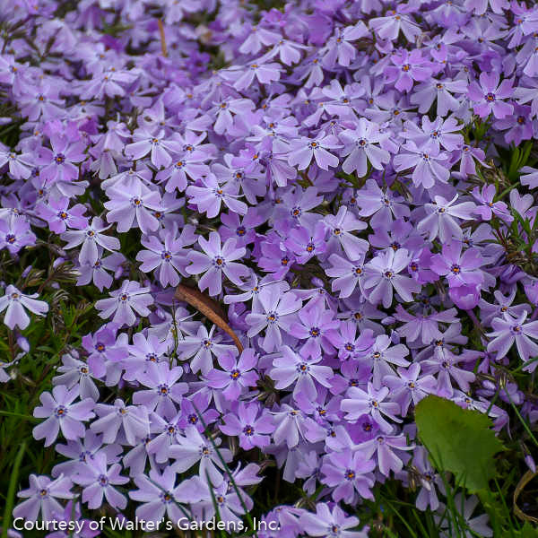 'Emerald Blue' Phlox - Buy Plants Online
