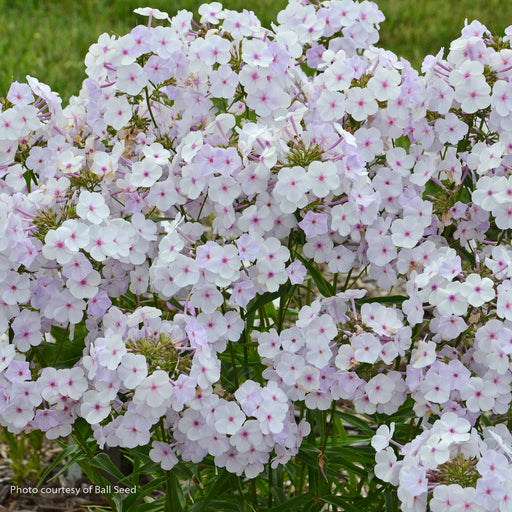 'Fashionably Early Lavender Ice' Phlox