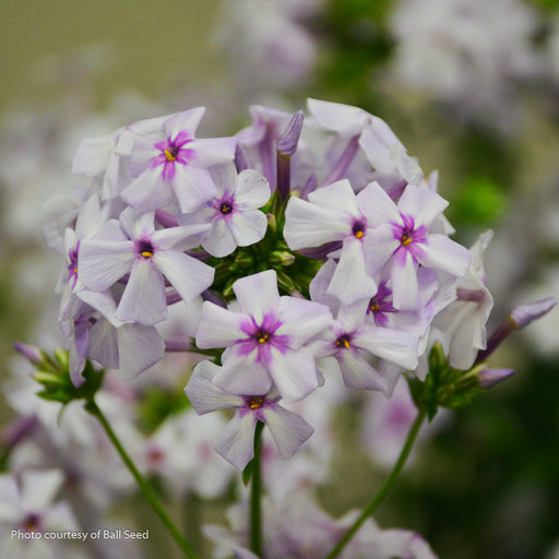 'Fashionably Early Lavender Ice' Phlox up close, bloom