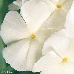 'White Delight' Phlox up close, bloom