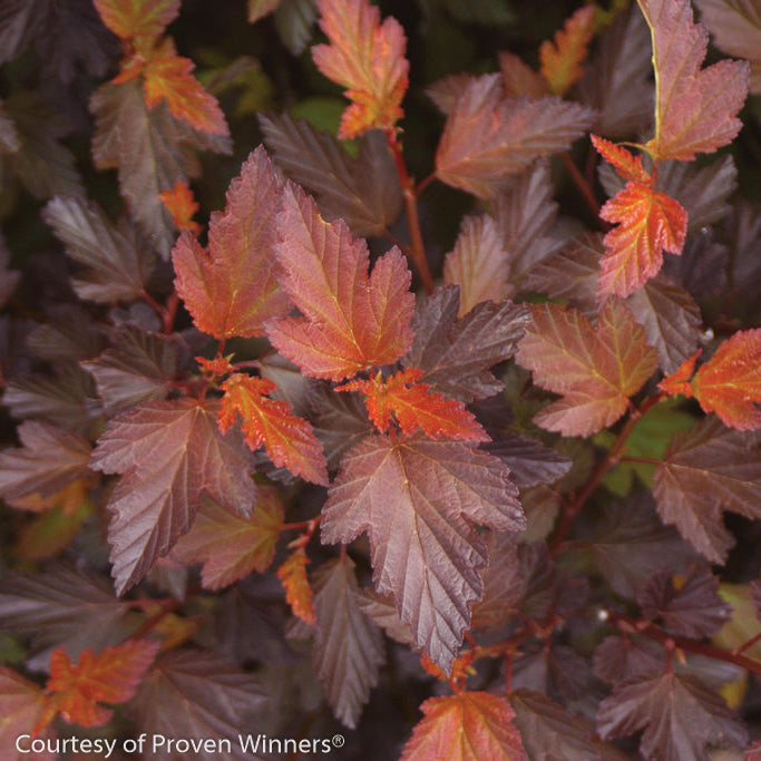 Coppertina® Physocarpus - Buy Plants Online