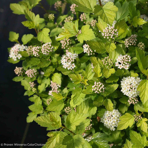 Tiny Wine® Physocarpus - Buy Plants Online