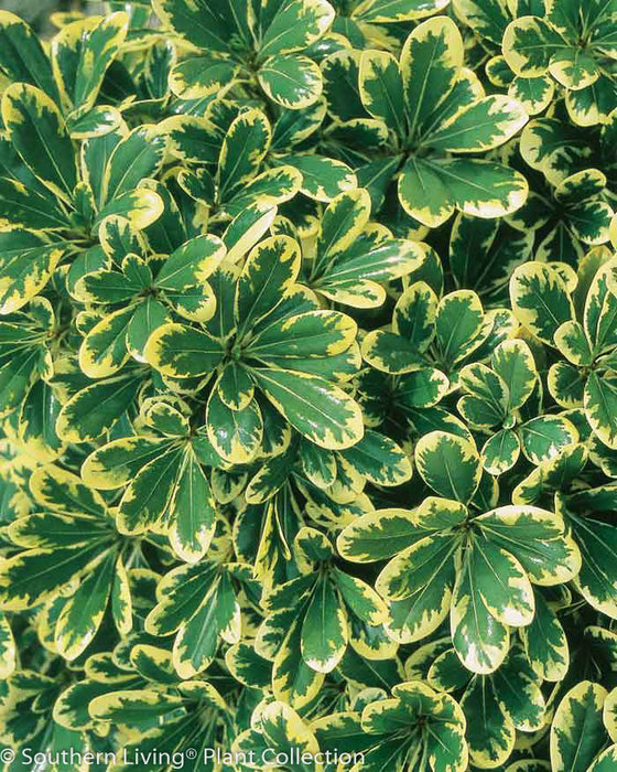 Mojo® Pittosporum - Buy Plants Online